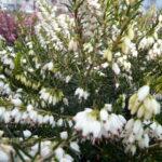 `White Spring Surprise`  ®